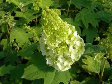 Hydrangea quercifolia 'Harmony' (Hortensja dębolistna) - C4
