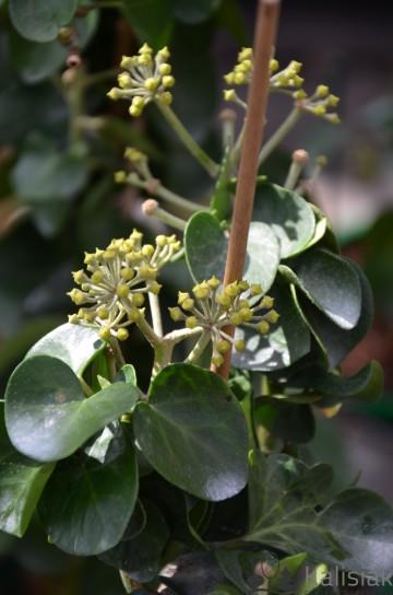 Hedera hibernica 'Arbori Compact' (Bluszcz irlandzki) - C2