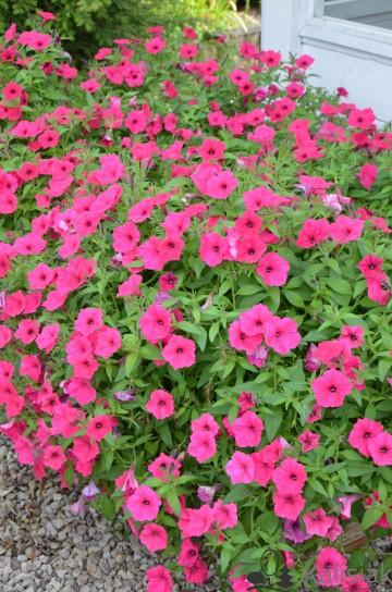 Petunia Supertunia 'Vista Fuchsia' (Petunia) - AN12