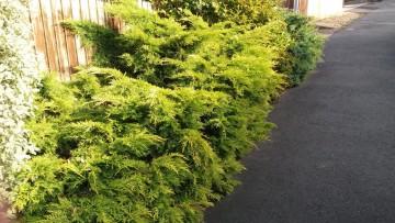 Juniperus ×pfitzeriana 'Pfitzeriana Aurea' (Jałowiec Pfitzera) - C3