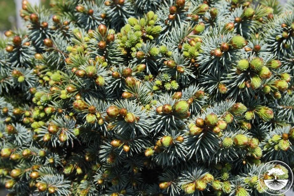 Picea sitchensis 'Midget'