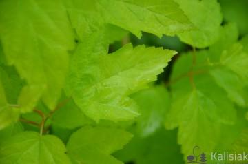 Physocarpus opulifolius 'Luteus' (Pęcherznica kalinolistna) - C3