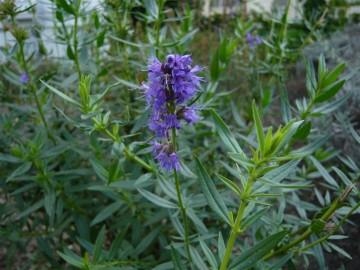 Hyssopus officinalis (Hyzop lekarski) - C1.5