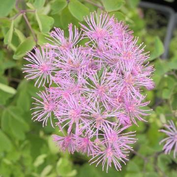 Thalictrum aquilegifolium 'Purpureum' (Rutewka orlikolistna) - C5
