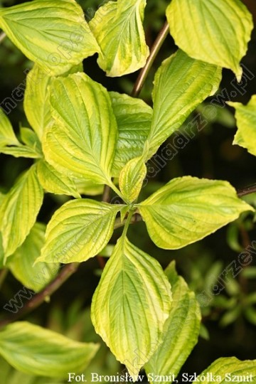Cornus alternifolia 'Yellow Spring'