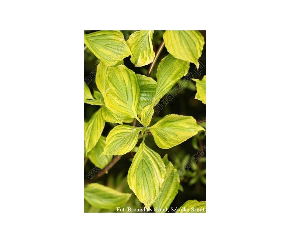 Cornus alternifolia 'Yellow Spring'
