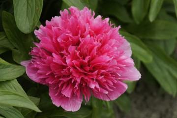 Paeonia officinalis 'Rosea Plena' (Piwonia) - C3