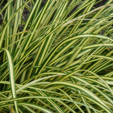 Carex oshimensis 'Eversheen' (Turzyca oszimska) - P17