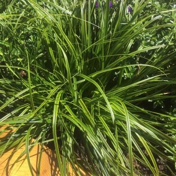 Carex oshimensis 'Everlime' (Turzyca oszimska) - P13