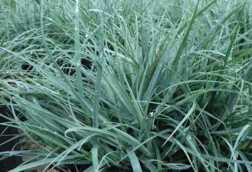 Carex 'Blue Zinger' (Turzyca) - C2