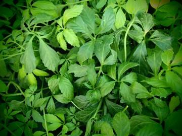 Gynostemma pentaphyllum (Zioło długowieczności Jiaogulan) - C1.5