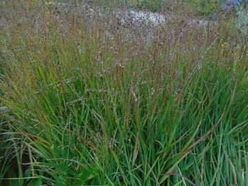 Panicum virgatum 'Squaw' (Proso rózgowate) - C3