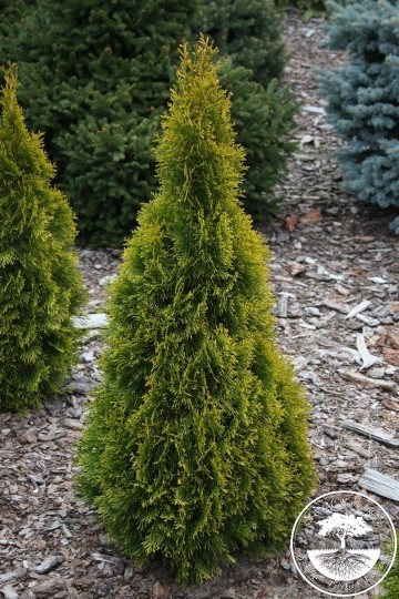 Thuja occidentalis GOLDEN SMARAGD 'Janed Gold'