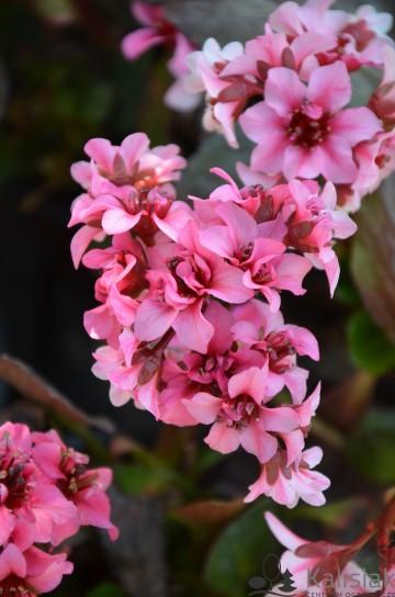 Bergenia DRAGONFLY 'Sakura' (Bergenia) - C2