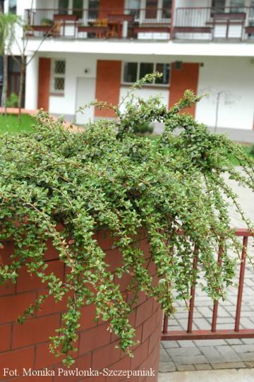 Cotoneaster radicans 'Eicholz' (Irga rozesłana) - C2