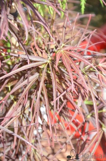 Acer palmatum 'Red Pygmy' (Klon palmowy) - C5 bonsai