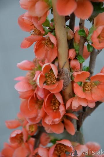 Chaenomeles japonica 'Cido' (Pigwowiec japoński) - C2