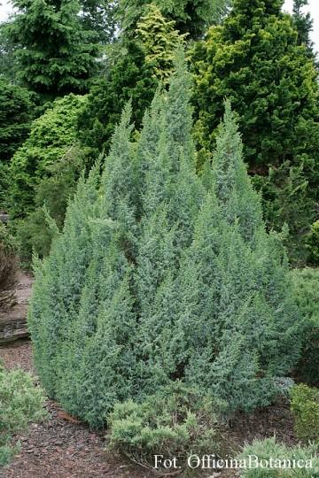 Juniperus pingii 'Loderii'