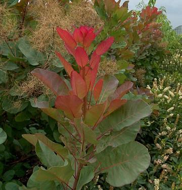 Cotinus coggyrgia 'Old Fashioned' (Perukowiec podolski) - C7.5