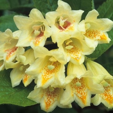 Weigela middendorffiana (Krzewuszka Middendorfa) - C2