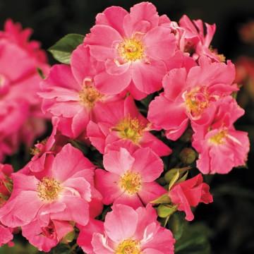 Rosa PINK BLANKET 'Wiljans' (Róża okrywowa) - C2