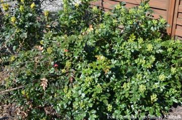 Mahonia aquifolium (Mahonia pospolita) - C7.5