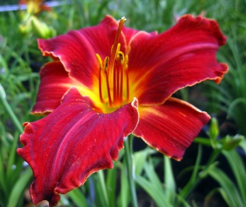 Hemerocallis 'Hey There' (Liliowiec)  - C3