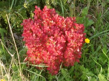 Berberis thunbergii 'Lutin Rouge' (Berberys Thunberga) - C2