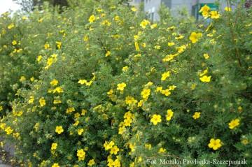 Potentilla fruticosa 'Goldfinger' (Pieciornik krzewiasty) - C2