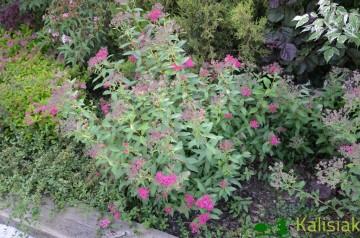 Spiraea japonica 'Neon Flash' (Tawuła japońska) - C3