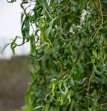 Salix 'Erythroflexuosa' (Wierzba Erythroflexuosa) - C5