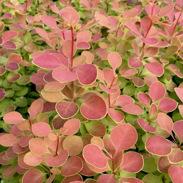 Berberis thunbergii 'Orange Sunrise' (Berberys Thunberga)  - C3