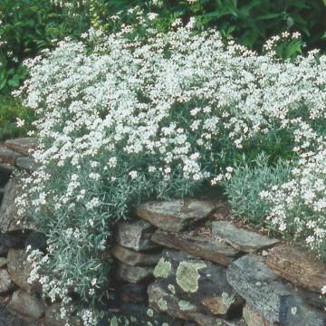 Cerastium tomentosum (Rogownica kutnerowata) - C2
