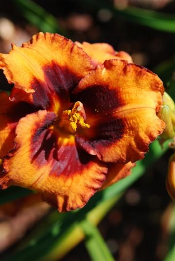 Hemerocallis 'Madeline Nettles Eyes' (Liliowiec ogrodowy) - C2