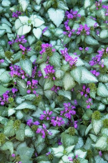 Lamium maculatum 'Purple Dragon' (Jasnota plamista) - C2