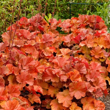 Heuchera 'Northern Exposure Amber' (Żurawka)  - C2