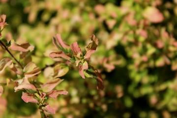 Spiraea nipponica 'Gerlve's Rainbow' (Tawuła nippońska) - C2