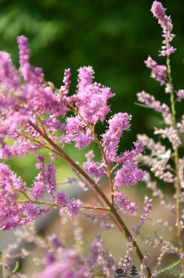 Tamarix ramosissima 'Pink Cascade' (Tamaryszek rozgałęziony) - C7,5