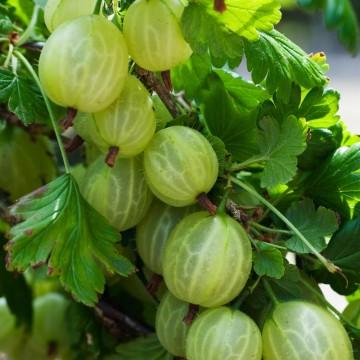 Ribes uva-crispa 'Hinnonmaki Gron' (Agrest zielony) - C2
