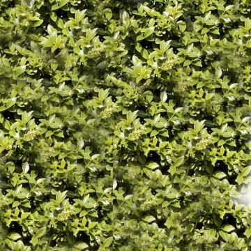 Ligustrum vulgare (Ligustr pospolity) - C5