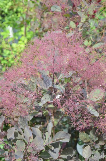 Cotinus coggyria 'Dusky Maiden' (Perukowiec podolski) - C7.5
