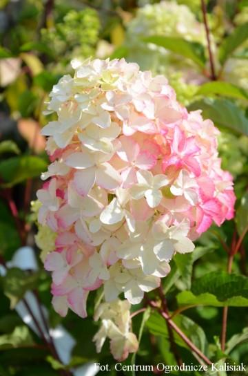 Hydrangea paniculata FRAISE MELBA 'Renba' (Hortensja bukietowa) - C7.5