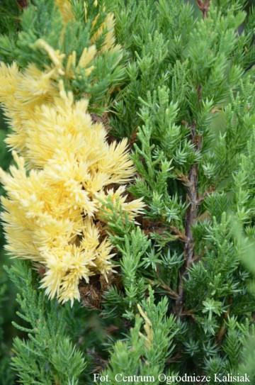 Juniperus chinensis 'Variegata'