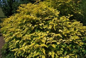 Rubus 'Golden Vale' (Jeżyna białopędowa) - C3