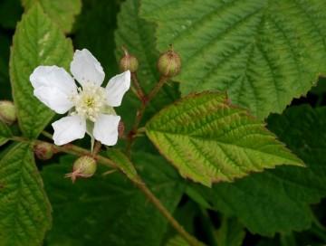 Rubus caesius (Jeżyna popielica) - C5