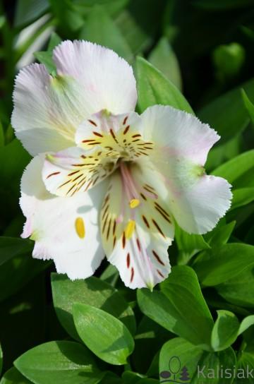 Alstroemeria TIMES VALLEY 'Tessumtime' (Alstremeria ogrodowa) - C2