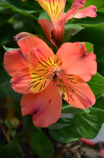 Alstroemeria HOLIDAY VALLEY 'Tessumholid' (Alstremeria ogrodowa) - C2