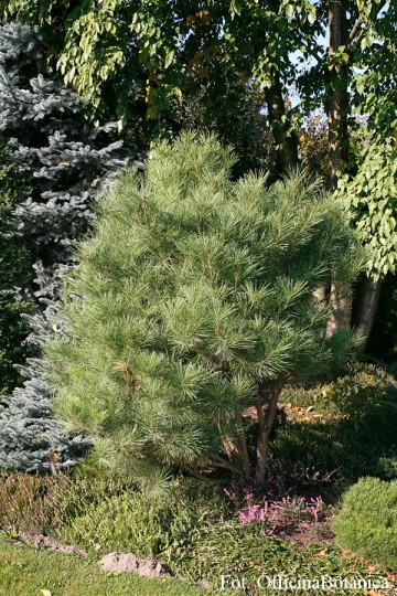 Pinus densiflora 'Umbraculifera' (Sosna gęstokwiatowa) - C3