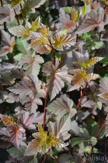 Physocarpus opulifolis 'Shady Lady' (Pęcherznica kalinolistna) - C3