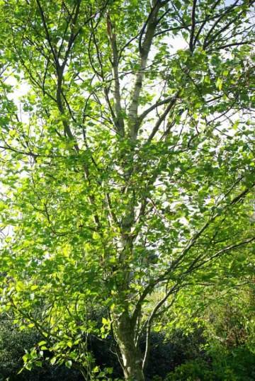 Betula pendula 'Fastigiata' (Brzoza brodawkowata) - C5